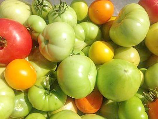 как ускорить созревание томатов 2