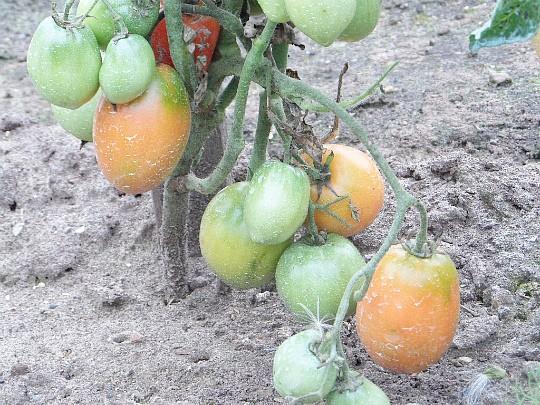 как ускорить созревание томатов 3