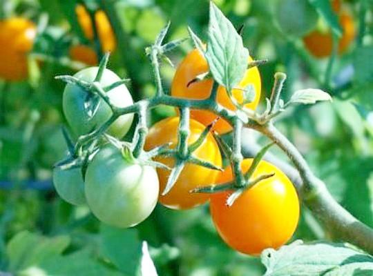 как ускорить созревание томатов 4
