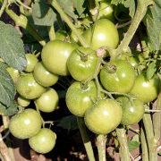 как ускорить созревание томатов 5