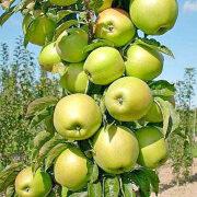 колоновидная яблоня сорт, выращивание, уход 7