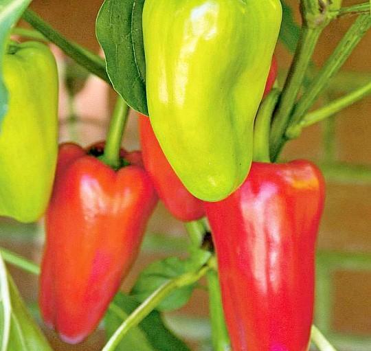 особенности выращивания сладкого перца в теплице и открытом грунте 4