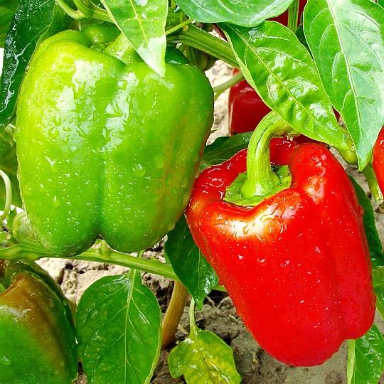 особенности выращивания сладкого перца в теплице и открытом грунте 6