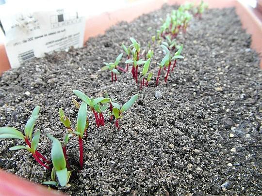 посадка свеклы семенами в открытый грунт 1