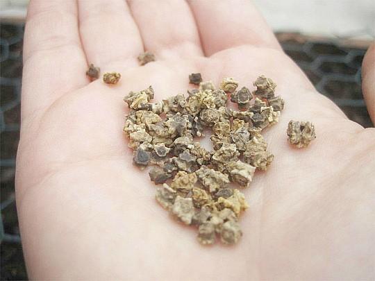 посадка свеклы семенами в открытый грунт 3