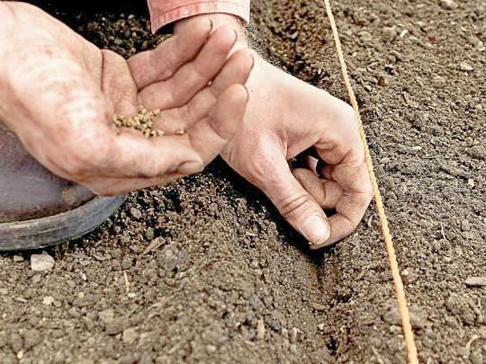 посадка свеклы семенами в открытый грунт 4
