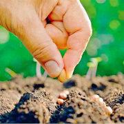 посадка свеклы семенами в открытый грунт 8