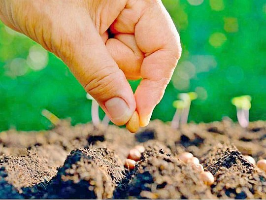 посадка свеклы семенами в открытый грунт