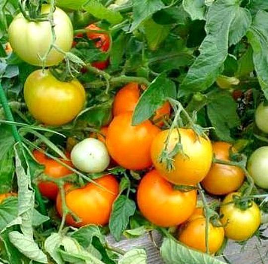 сорт томата диетический здоровяк