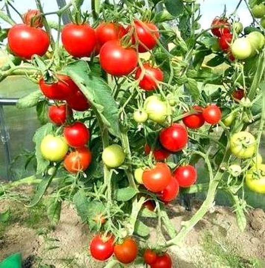 сорт томата верлиока плюс f1