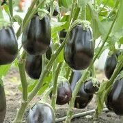 уход за баклажанами в теплице от посадки до урожая 3