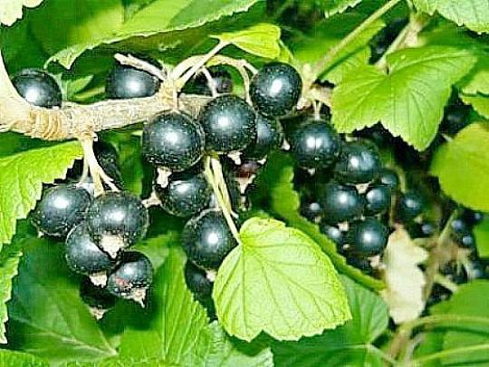 сорта смородины черной обыкновенное чудо