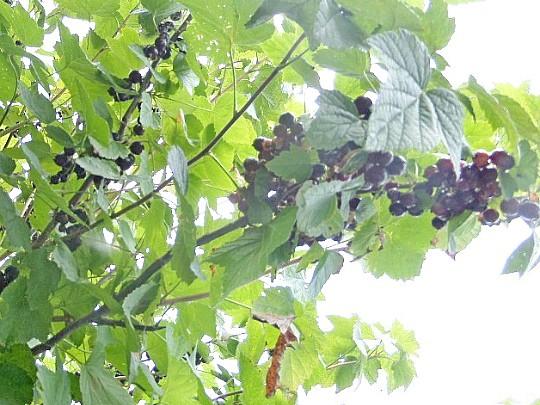 сорта смородины черной самой сладкой выращивание