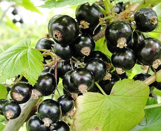сорта смородины черной селеченская