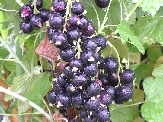 сорта смородины черной сладкая жемчужина