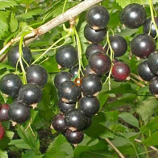 сорта смородины черной зеленая дымка
