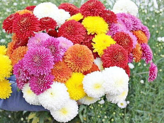 хризантемы садовые многолетние фото, посадка и уход 1