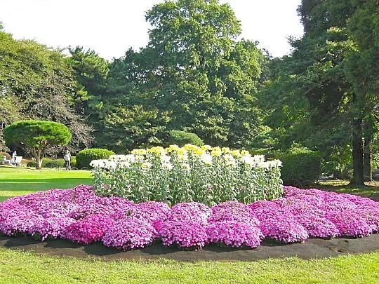 хризантемы садовые многолетние фото, посадка и уход 2