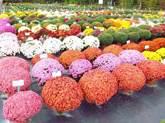 хризантемы садовые многолетние фото, посадка и уход 3