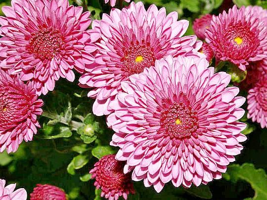 хризантемы садовые многолетние фото, посадка и уход 4