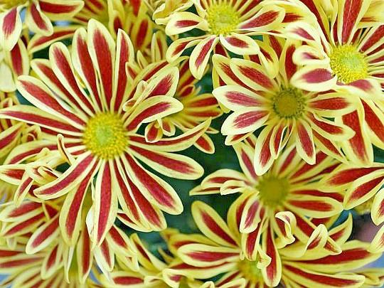 хризантемы садовые многолетние фото, посадка и уход 5