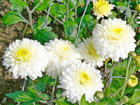 хризантемы садовые многолетние фото, посадка и уход 6