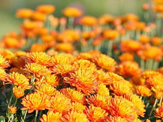 хризантемы садовые многолетние фото, посадка и уход 8