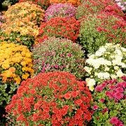 хризантемы садовые многолетние фото, посадка и уход 9