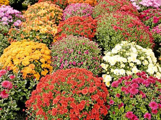 хризантемы садовые многолетние фото, посадка и уход