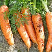 морковь выращивание и уход. лучшие сорта моркови 7