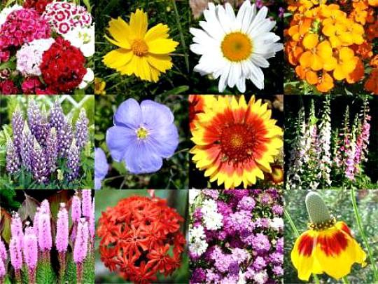 какие многолетние цветы можно посадить осенью, многолетние цветы для клумбы 1