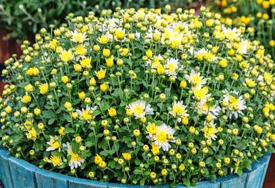какие многолетние цветы можно посадить осенью, многолетние цветы для клумбы 4