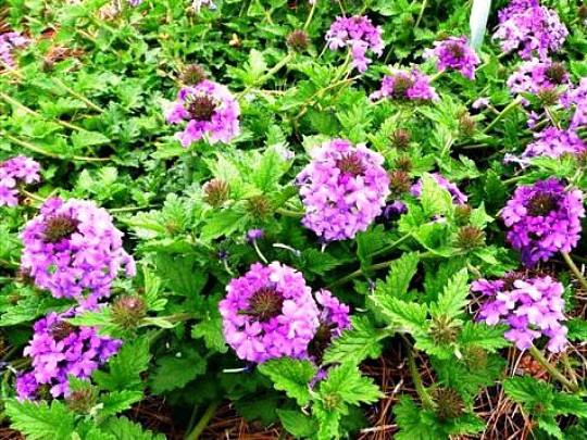 какие многолетние цветы можно посадить осенью, многолетние цветы для клумбы 5