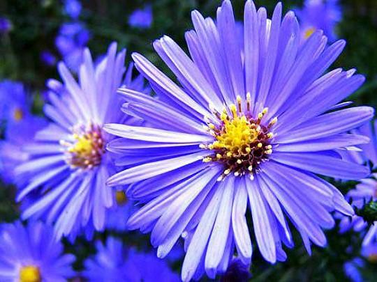 какие многолетние цветы можно посадить осенью, многолетние цветы для клумбы 7