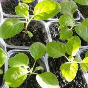 как посадить баклажаны на рассаду 5