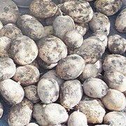 сорта картофеля фото, описание, характеристики, отзывы 1